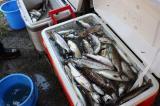 みんなで釣ったアマゴです。